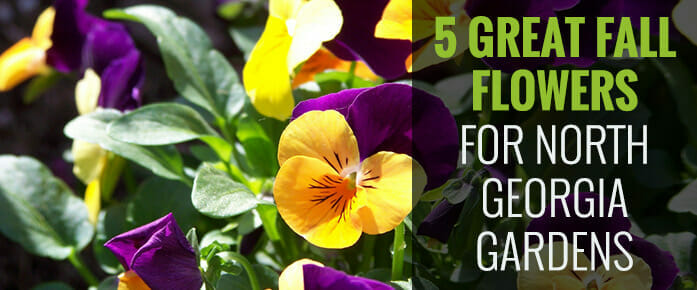 5 Great Fall Flowers for Georgia Gardens