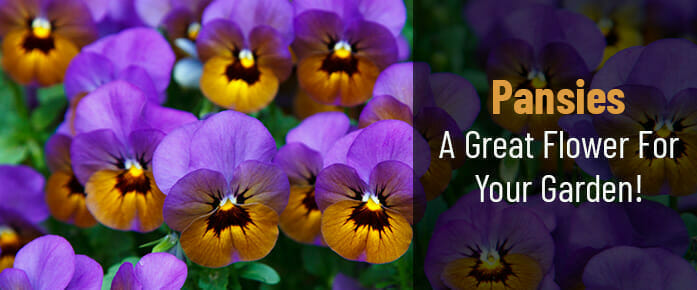 A Comprehensive Guide To Pansies – A Great Flower For Your Garden!